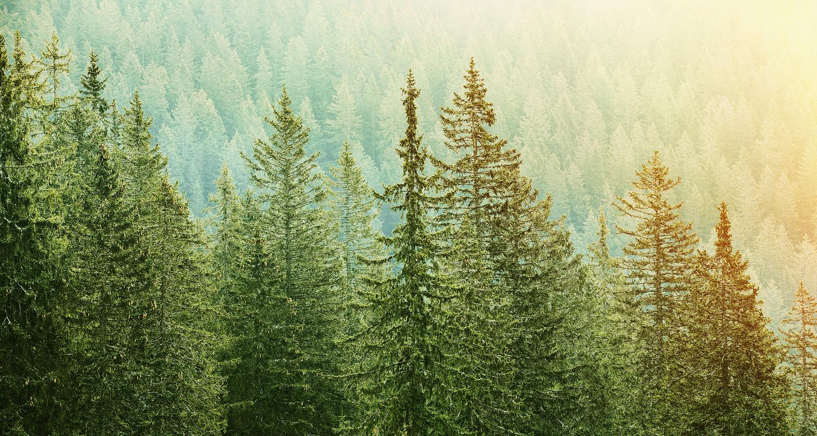 bigstock-Green-Coniferous-Forest-Lit-By-90469688
